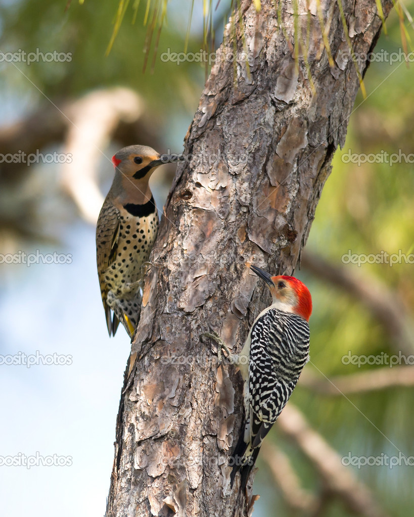 Northern Flicker and Red-Bellied Woodpeckers