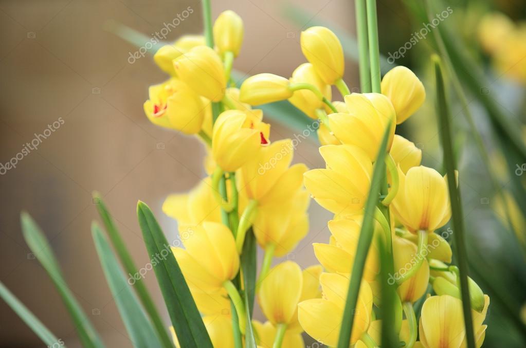 Yellow cymbidium