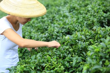 Young asian woman picking tea leaves