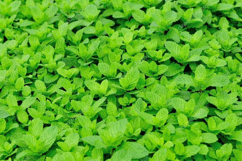 Mint plant grow