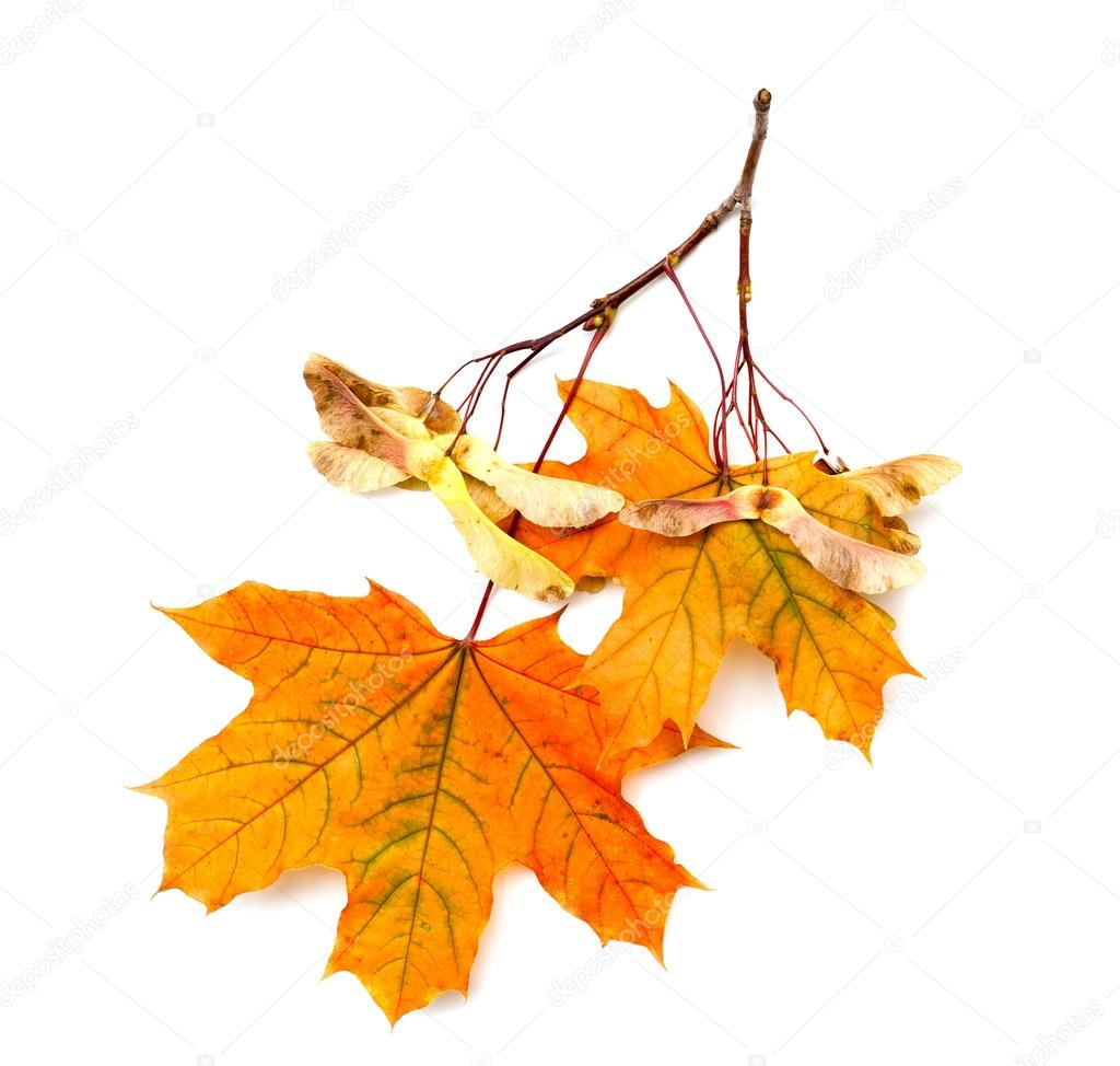 Maple branch with seeds and leaves