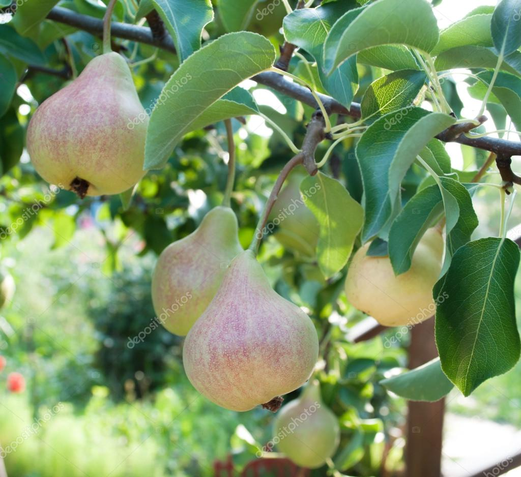 Pears on branch. Pears - orchard