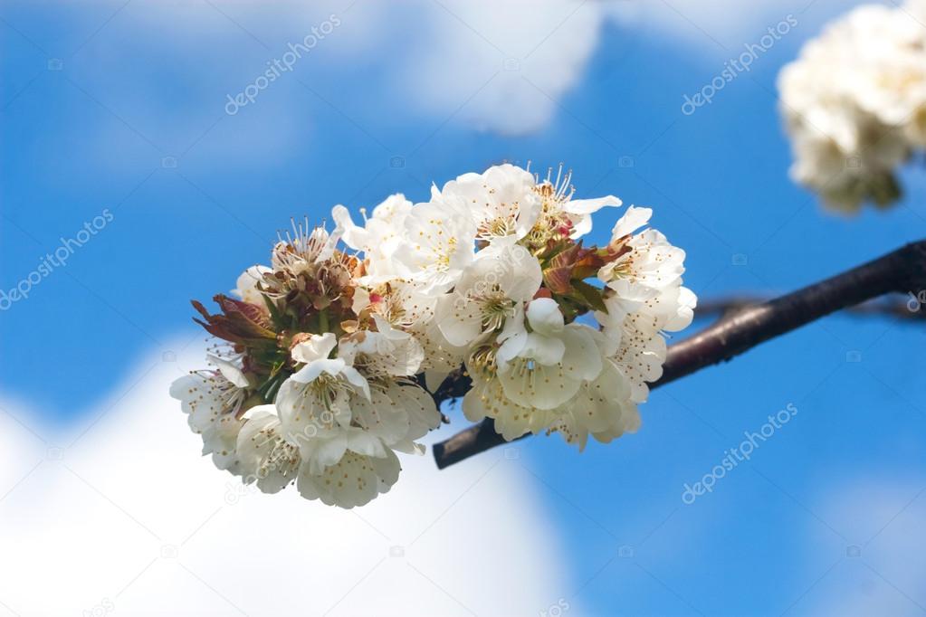 Lumineux Branche De Cerisier En Fleurs Photographie Lesyanovo