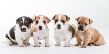 Four jack russel pups