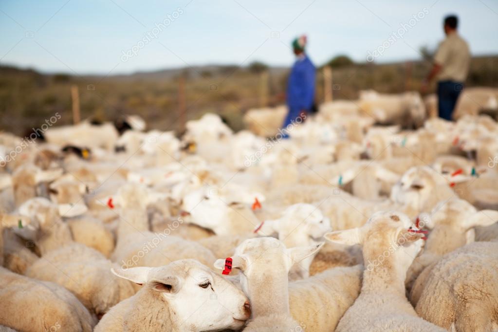 Farmer and helper counting sheep
