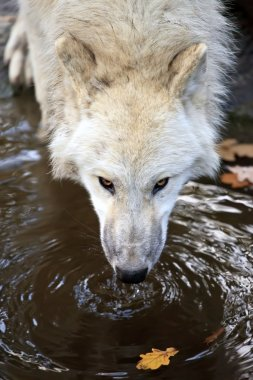 White wolf drinking water