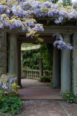 Beautiful Lilac Ancient Wisteria Growing on Roman Arch