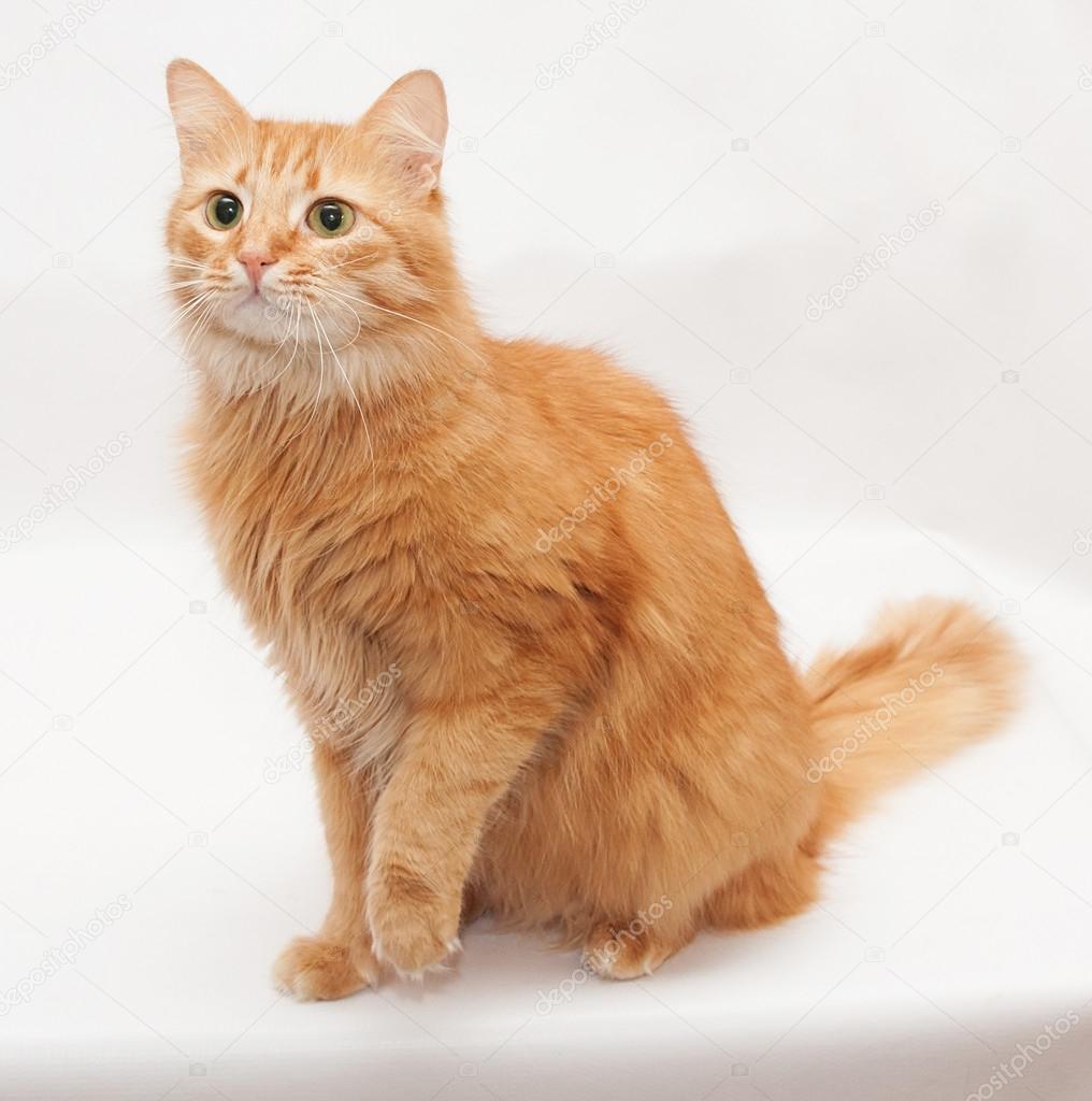 orange bengal kitten