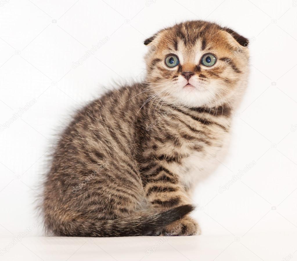 kleine tabby kitten scottish fold sitzen und schauen ngstlich stockfoto 40255465. Black Bedroom Furniture Sets. Home Design Ideas