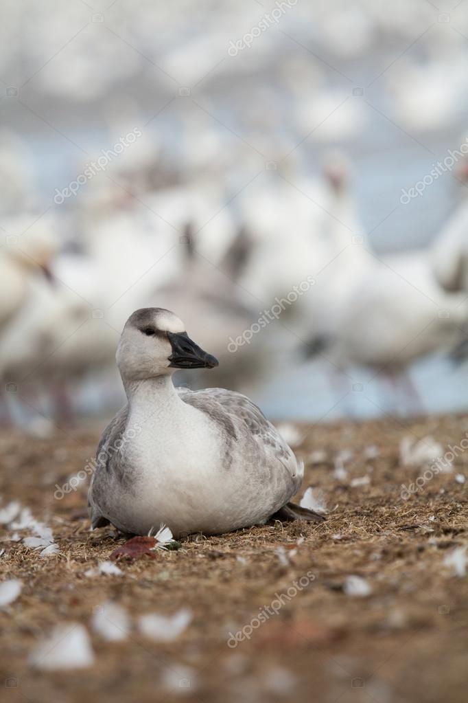 Snow goose fowl