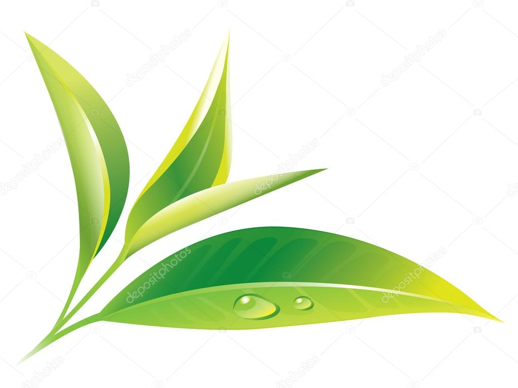 Branch of fresh, wet, young tea leaves — Stock Vector ...