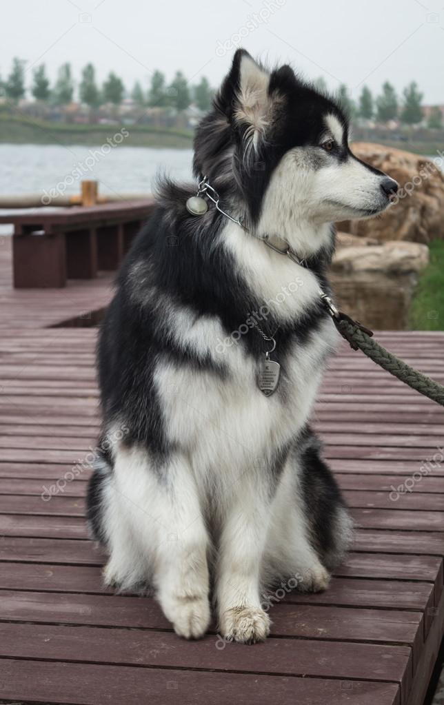 Alaskan malamute — Stock Photo © kahunaaaaa #27392543