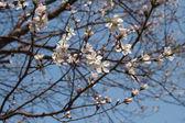 meruňkový květ