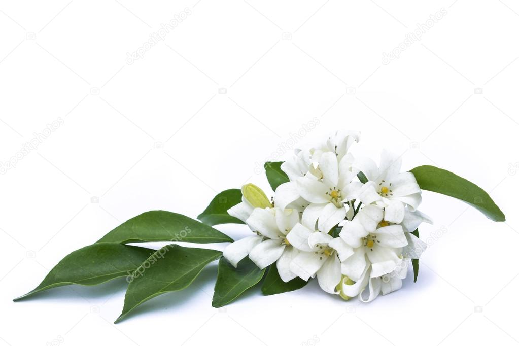 White flowers with green leaves on a white background. — Stock Photo ...