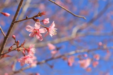 Sakura pink flower in Thailand