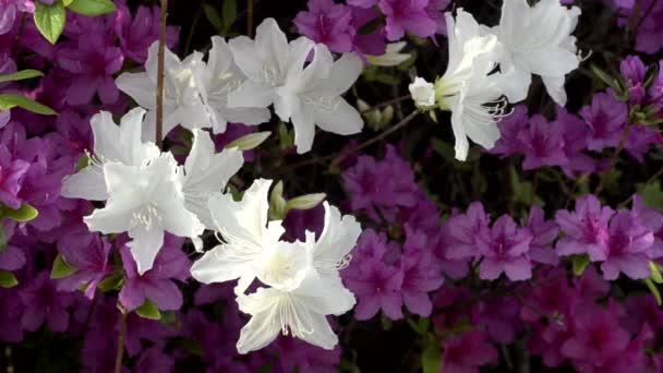 kvete bílými korejských azalka na jaře, Jižní korea