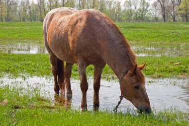 Horse eating grass on the background of green field