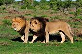 Fotografia due leoni del kalahari, panthera leo, nella nazionale addo elephant