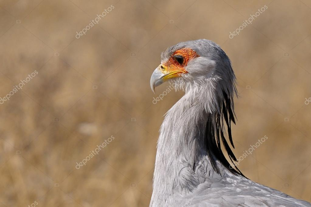 Secretary Bird, Etosha National Park