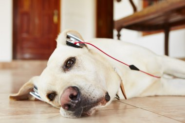 Dog is listening music