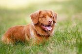 hnědá toller pes