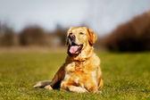 čistokrevná pes ležící na trávě