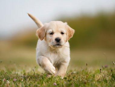 Golden retriever puppy running towards camera