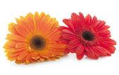 červené a oranžové sedmikráskami