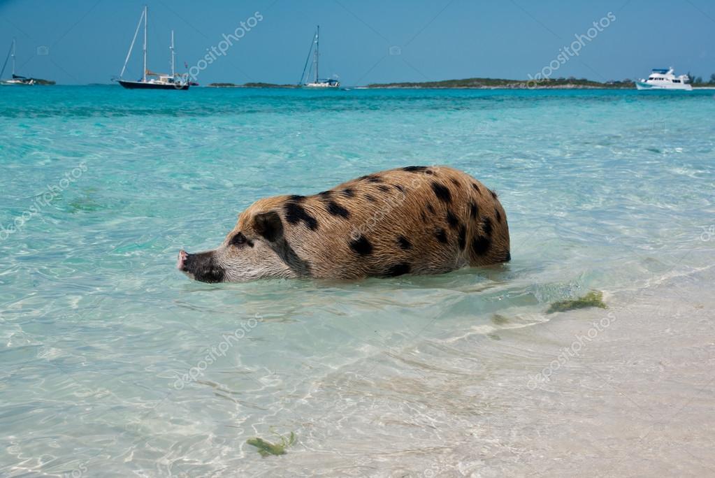 Swimming Island Pigs