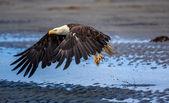 americký orel bělohlavý, na Aljašce
