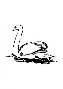 Swan is swimming on the water