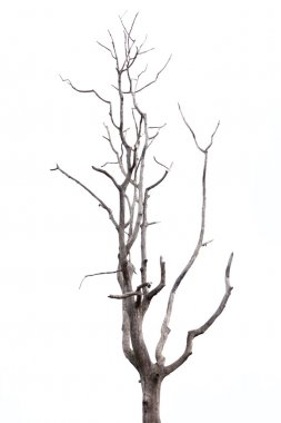 Dead tree on white background.