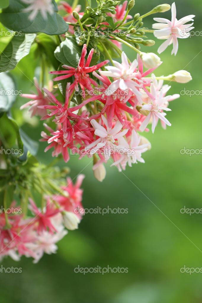 Drunen Marin Ou Fleur De Vigne Vierge De Rangoon Photographie