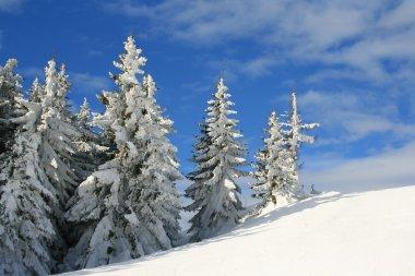 invernal tree - pini innevati