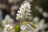 White Cherry strom jarní květy