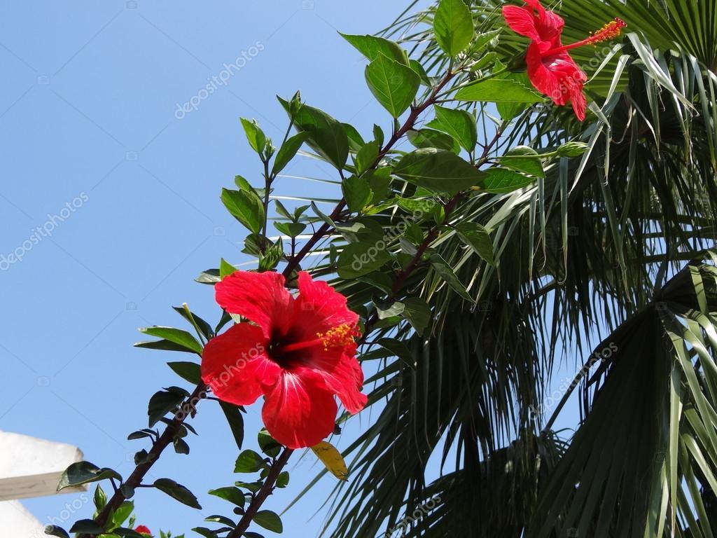 Fiori rossi di ibisco in primo piano del ramo di palma for Disegni del mazzo del secondo piano