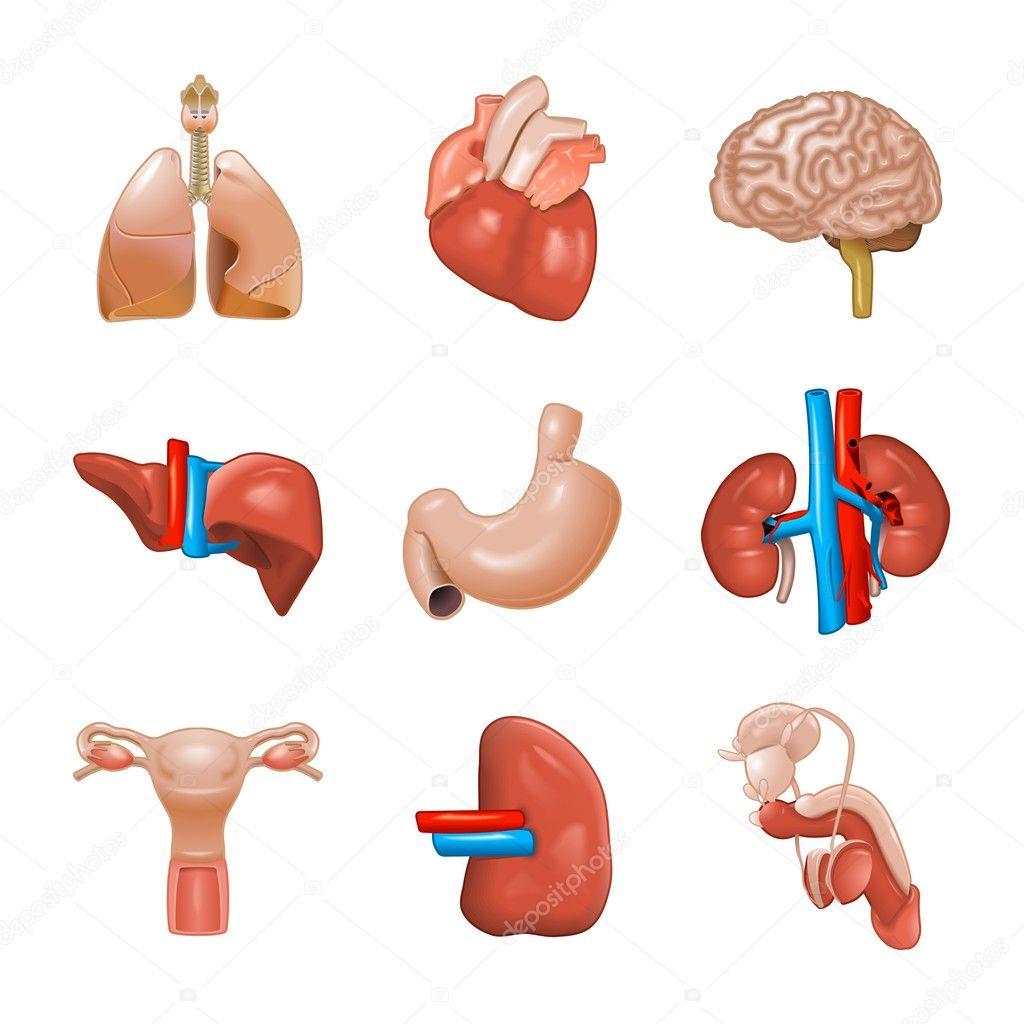 Картинки органов человека для детей по отдельности