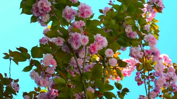 Cherry Blossom és sakura