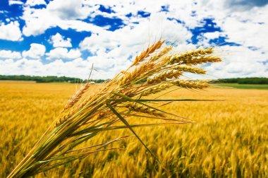 A wheat farm