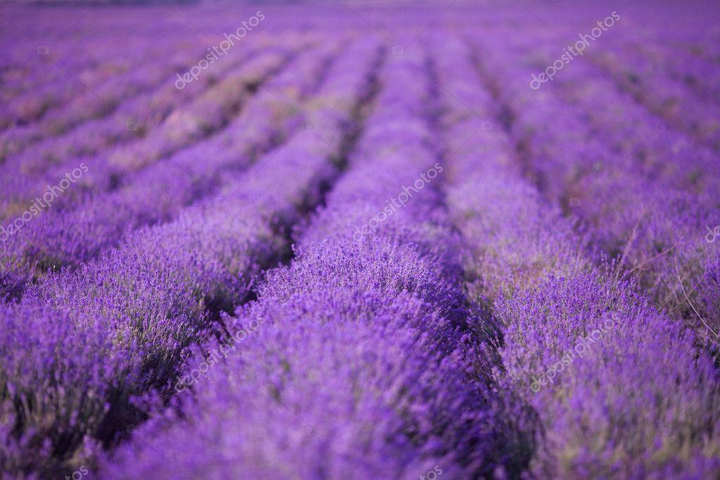 Purple lavander flowers field.