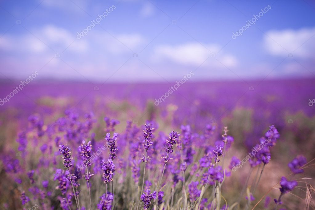 Purple lavander flowers