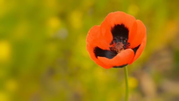 Virágzó vad mák makró