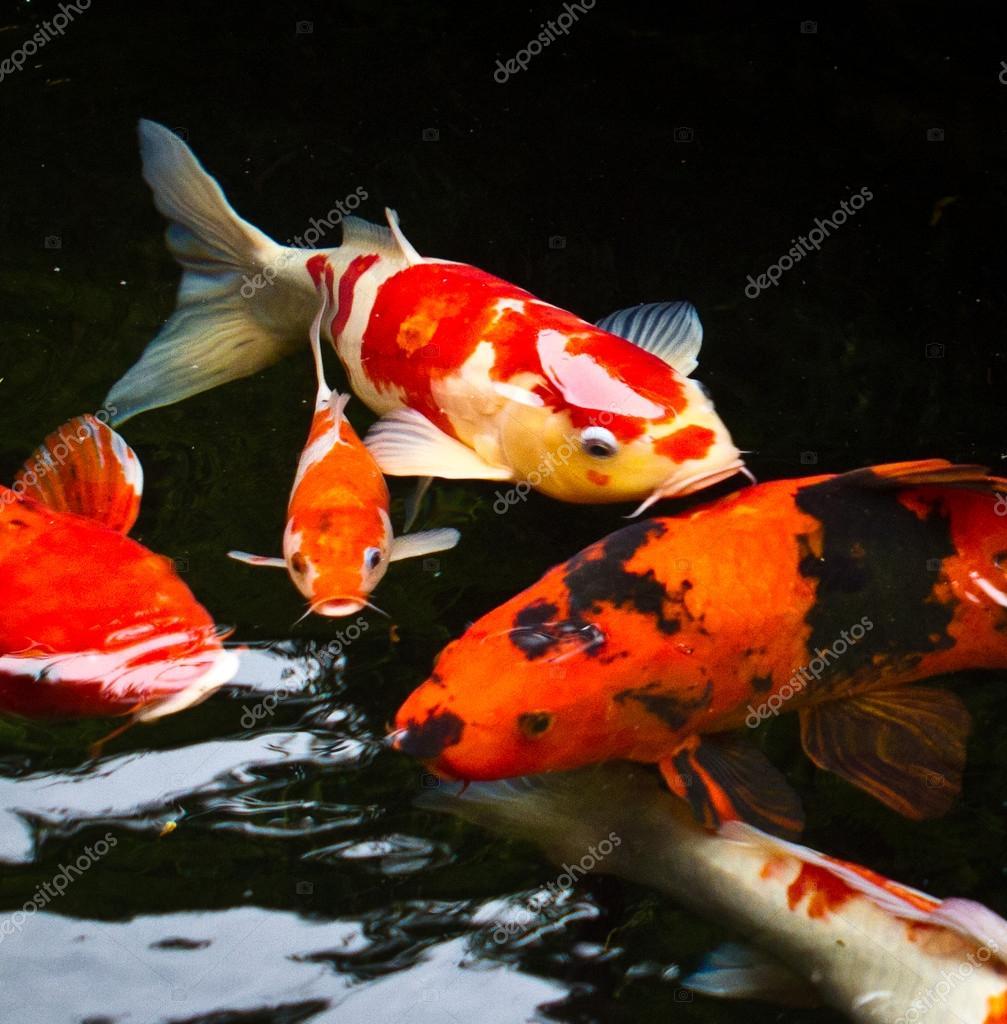 Koi fish — Stock Photo © sinseeho #41787515