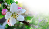 Fotografie Spring border or background with pink blossom
