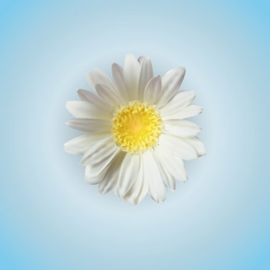 Vector chamomile flower isolated stock vector