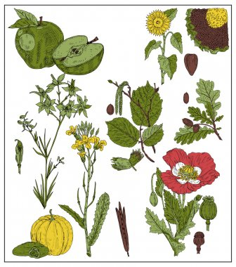 Set of fruits and seeds isolated on white. Vector illustration of apple, sunflower, seeds, oak, acorn, nut, hazelnut, mustard, poppy, pumpkin, cucumber stock vector