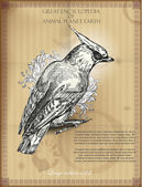 Bohemian Waxwing from Great Encyclopedia of Animal planet Earth. retro vector illustration