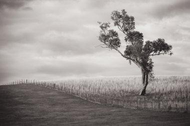 Lonesome Gum Tree