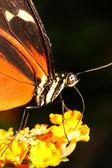 farfalla tigre