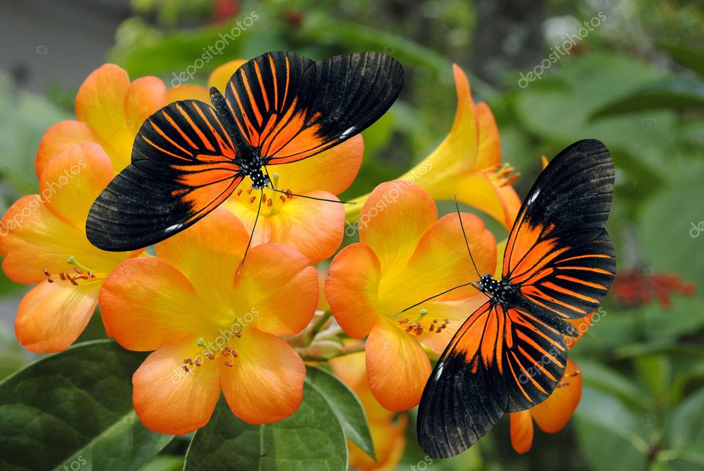Tropical Rhododendron simbu sunset flowers with 2 Doris Longwing Butterflies